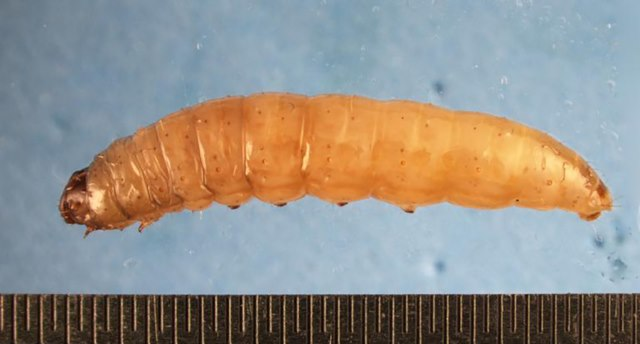 Размер личинок восковой моли