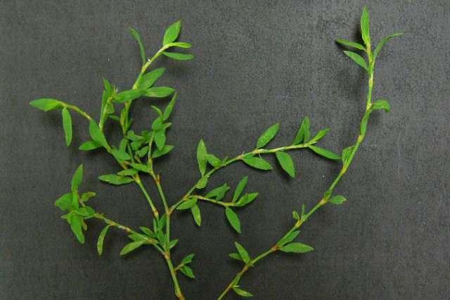 Трава спорыш хорошо помогает справляться с болезнью