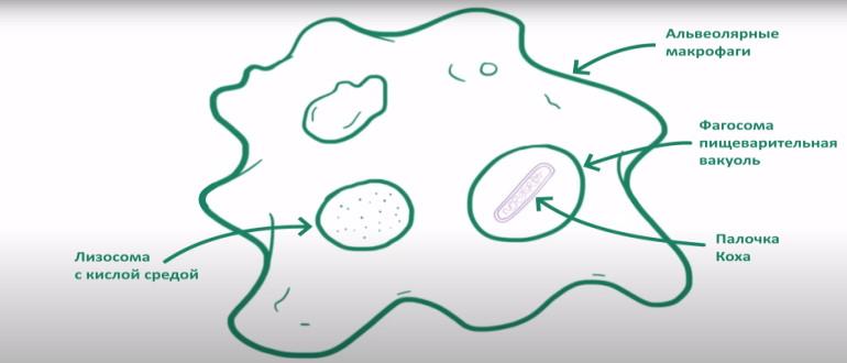 Микобактерия защищена от разрушения в кислой среде организма